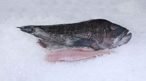 BlackSeaBass_1.jpg