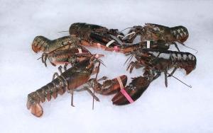 lobster_group.jpg